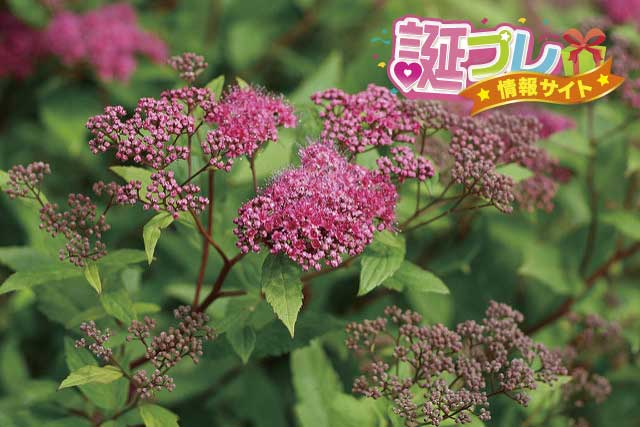 シモツケの花の画像