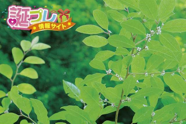ウメモドキの花の画像