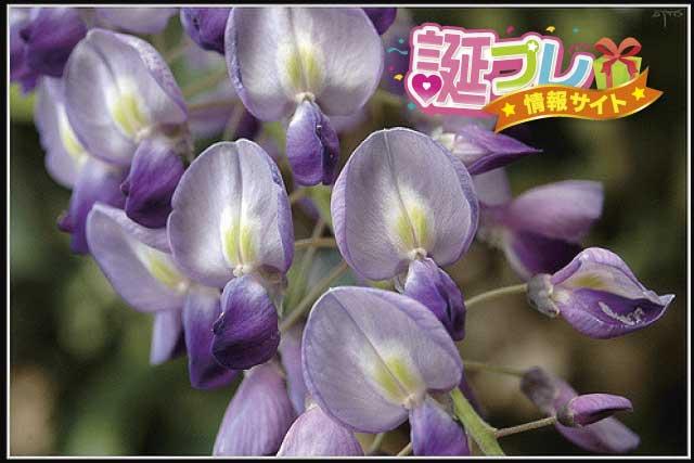 藤の花の画像