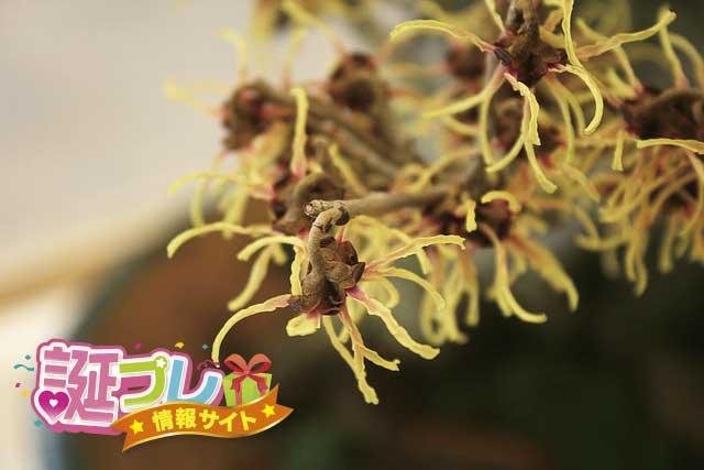 マンサクの花の画像