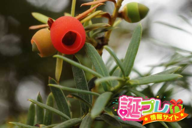 イチイの花の画像