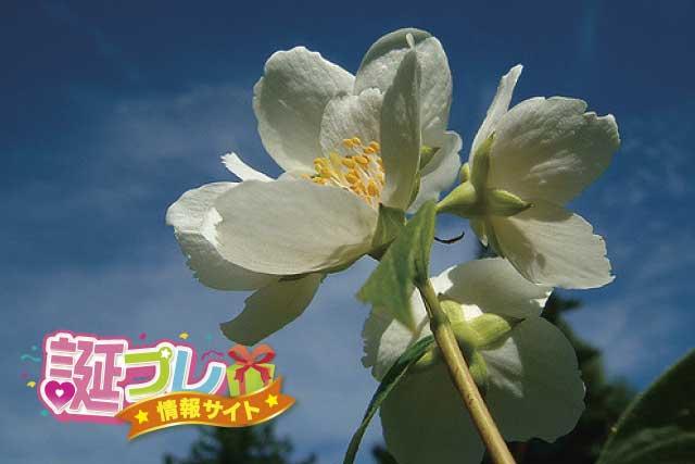 ジャスミンの花の画像