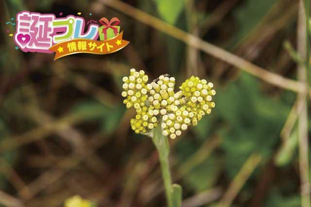 ハハコグサの花の画像