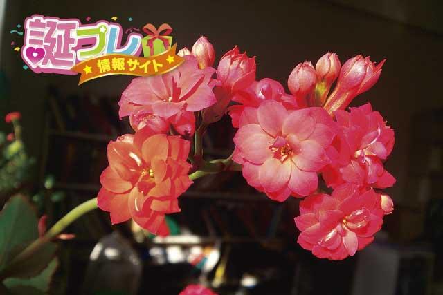 カランコエの花の画像
