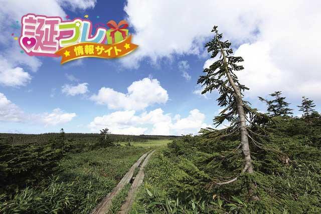 木曽檜の花の画像