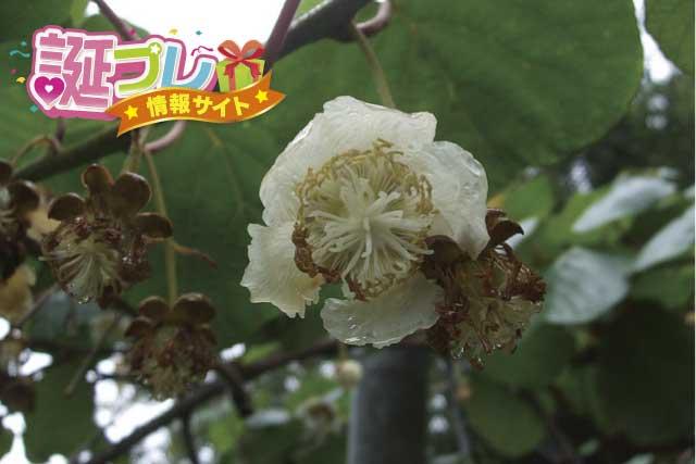 キウイの花の画像