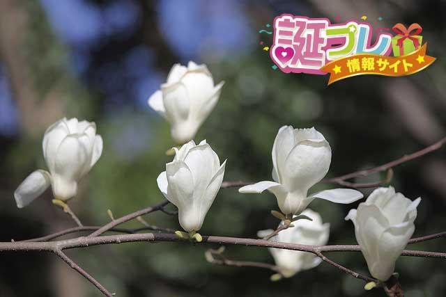 こぶしの花の画像