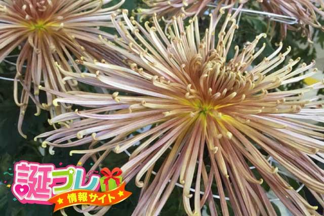 管物菊の画像