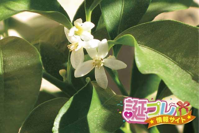 金柑の花の画像