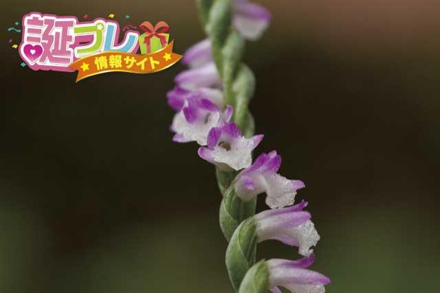 ネジバナの花の画像