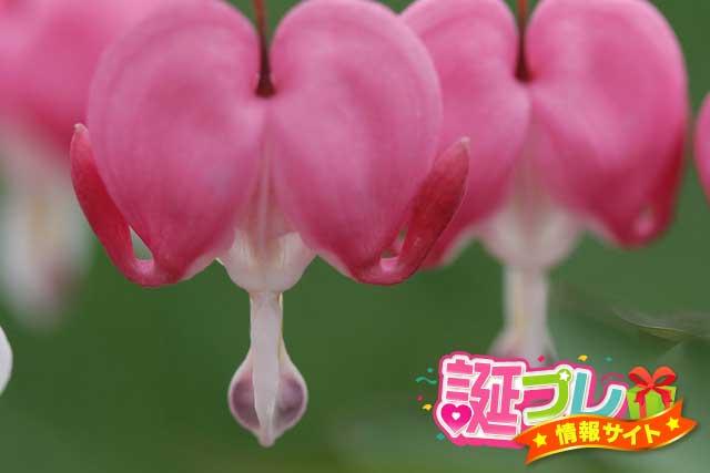 タイツリソウ(鯛釣草)の花の画像