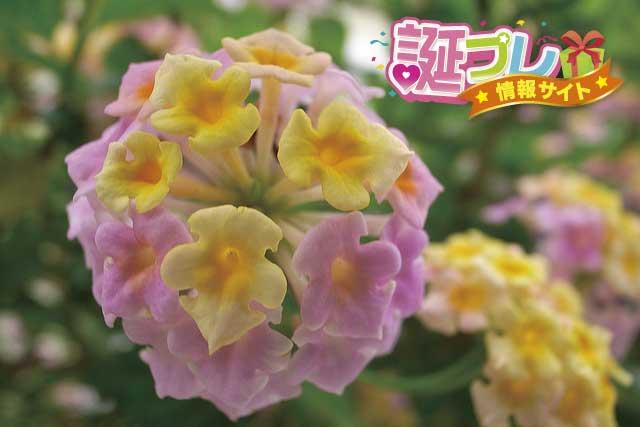 ランタナの花の画像
