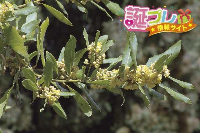 月桂樹の花の画像