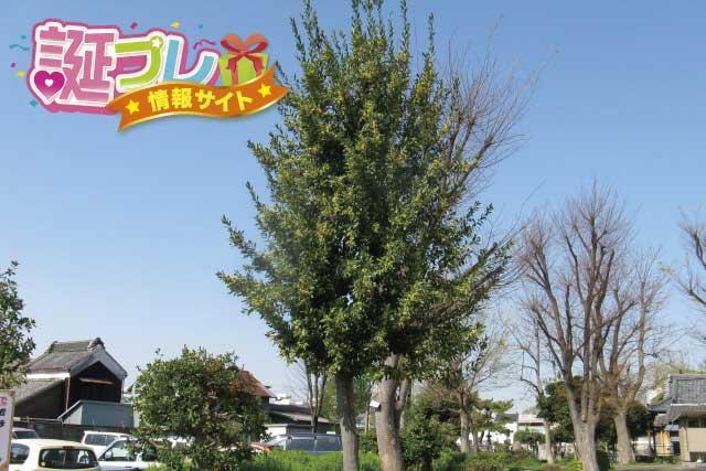 月桂樹の画像