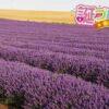 ラベンダーの花言葉は様々な意味の7つの言葉