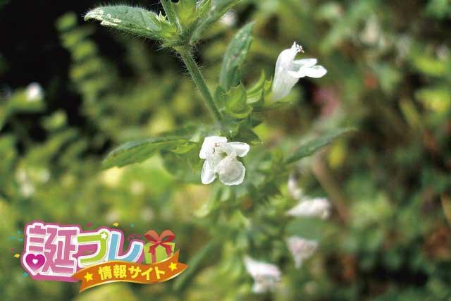 メリッサの花の画像