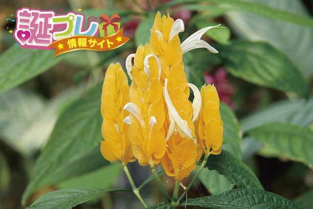 パキスタキスの花の画像