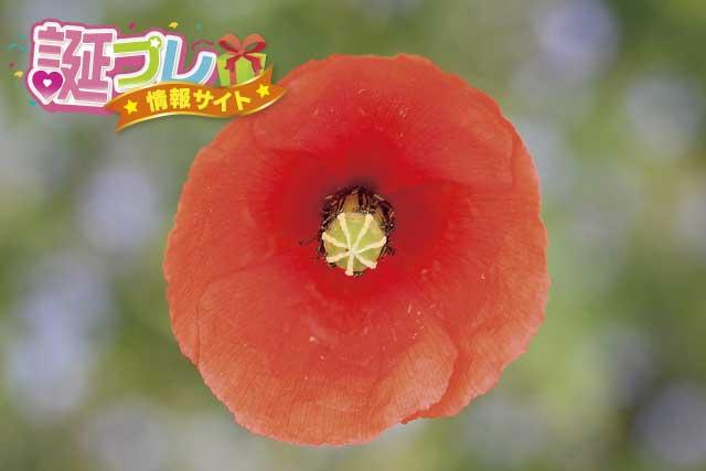 長実雛罌粟の画像