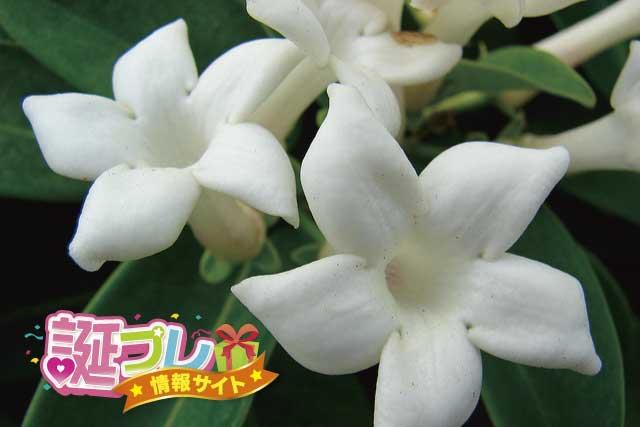 マダガスカルジャスミンの花の画像
