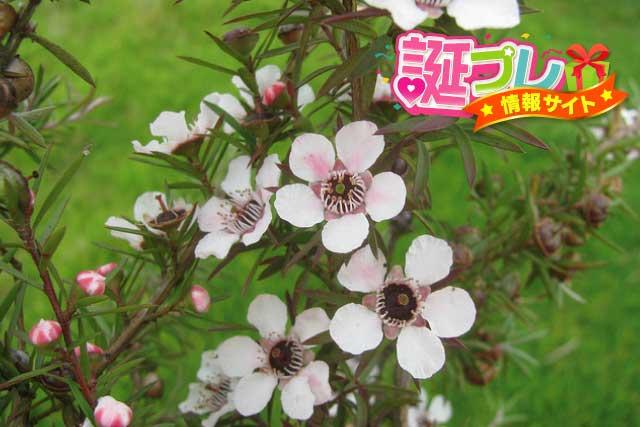 ギョリュウバイの花の画像