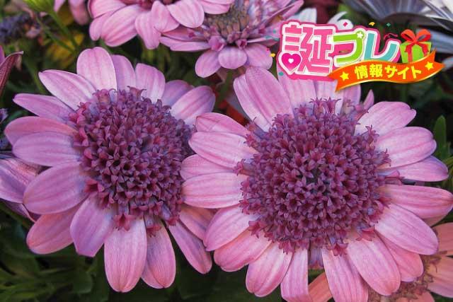 マーガレットの花の画像