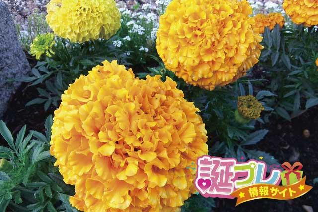 マリーゴールドの花の画像