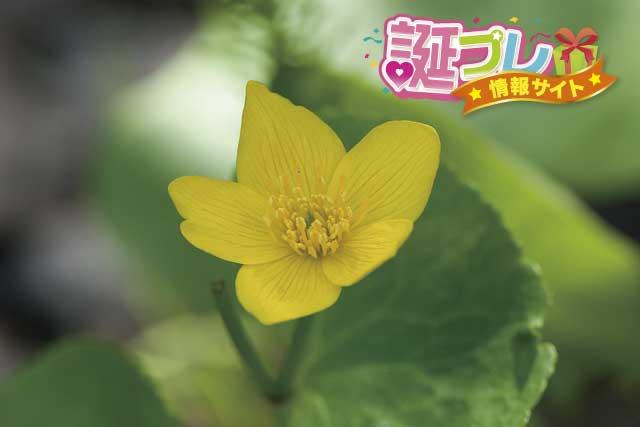 リュウキンカの花の画像