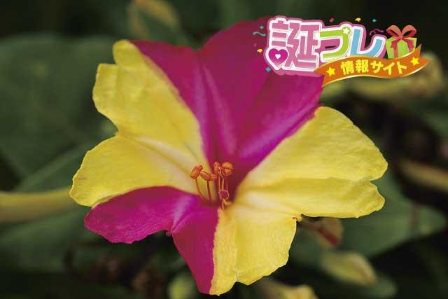 オシロイバナの花の画像
