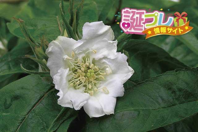 セイヨウカリンの花の画像
