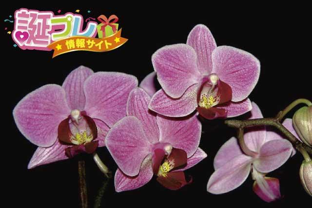 ミニ胡蝶蘭の画像