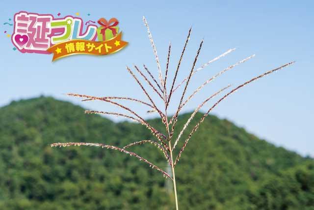 ススキの花の画像