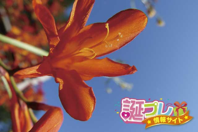 モントブレチアの花の画像
