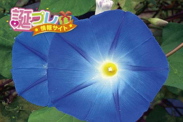 朝顔の花の画像