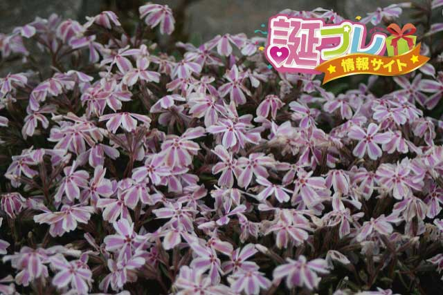 芝桜・多摩の流れの画像