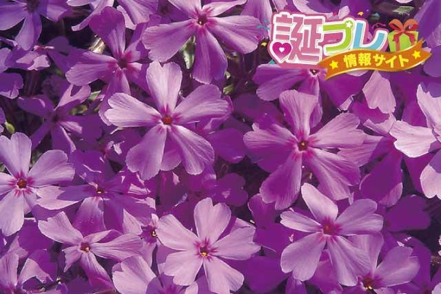 芝桜の花の画像
