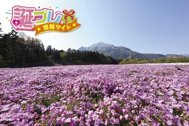 芝桜の画像