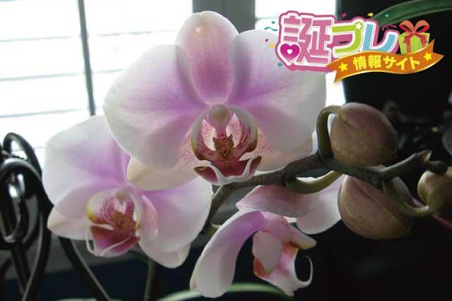 胡蝶蘭の花の画像