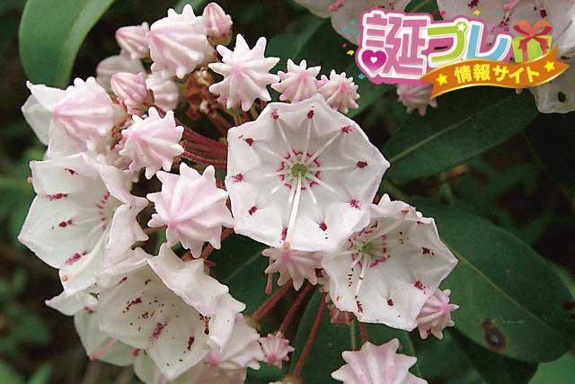 カルミアの花の画像