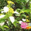 別名ハンカチの花、コンロンカの花言葉は変わった言葉