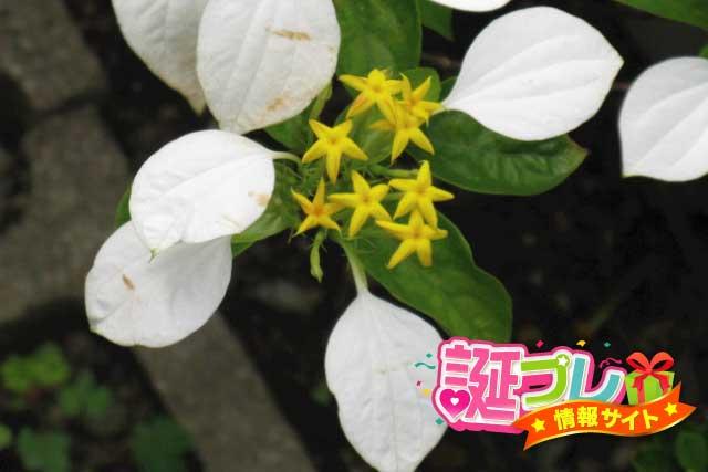 コンロンカの花の画像