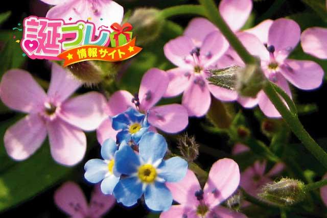 勿忘草の花の画像