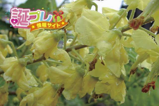 ジャケツイバラの花の画像