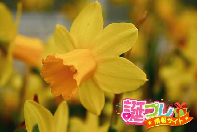黄水仙の画像