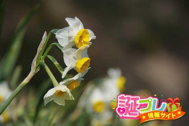 日本水仙の画像