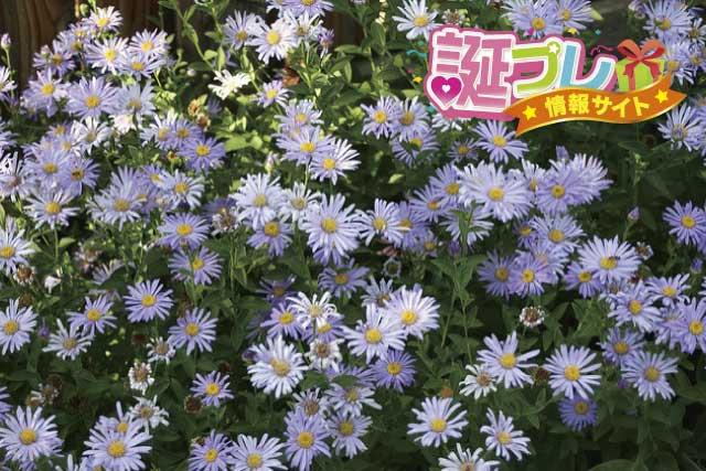 ユウゼンギクの花の画像
