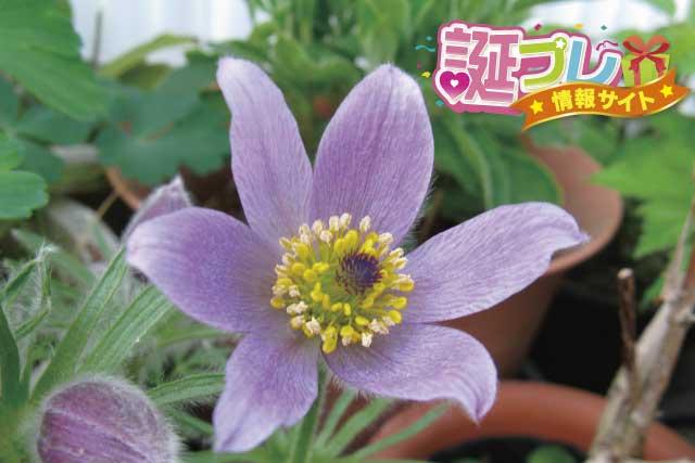 オキナグサの花の画像