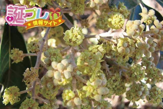 カポックの花の画像