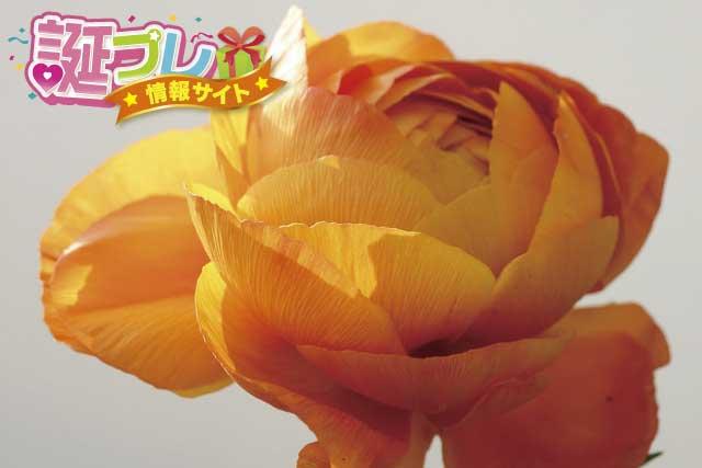 オレンジ色のラナンキュラスの画像