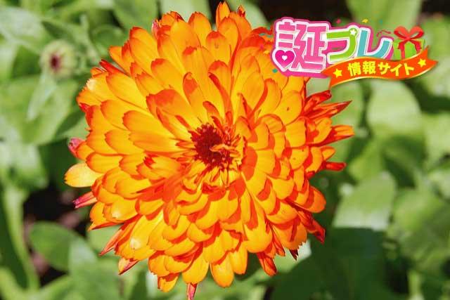 オレンジ色のキンセンカの画像