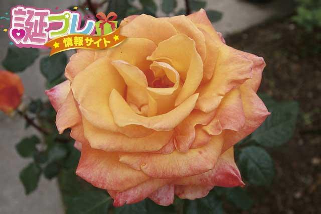 オレンジの薔薇の画像